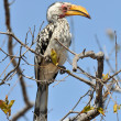 Постер, плакат: Yellowbilled Hornbill exotic african bird