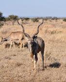 Kudu Antelope (Tragelaphus strepsiceros) — Stock Photo