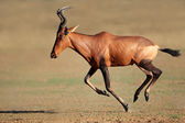 Running red hartebeest — Stock Photo