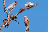 Galah Cockatoos, Australia — Stock Photo