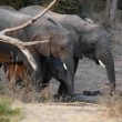 African elephants drinking water — Video