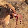 African lion with prey — Stock Photo
