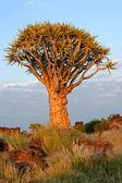 箭袋树 — 图库照片