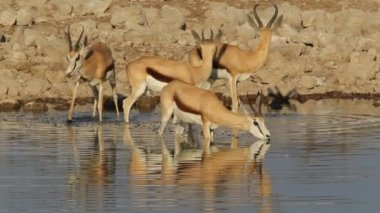 Springbok antelopes at waterhole — Stock Video