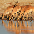 Impala antelopes at waterhole - 图库照片