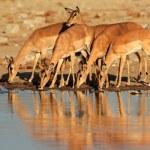 Impala antelopes at waterhole — Stock Photo