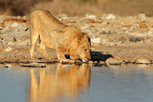 African lion drinking — Stock Photo