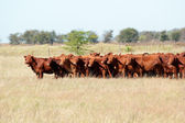 Red angus cattle — 图库照片