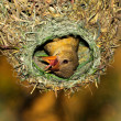 Cape weaver in nest — Stock Photo