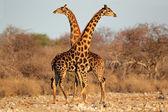 Giraffe stieren — Stockfoto