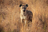 пятнистая гиена — Стоковое фото
