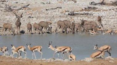 Antelopes at waterhole — Stock Video