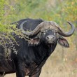 African buffalo bull — Stock Photo #14708355