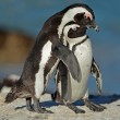 Stock Photo: Africpenguins