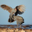 Stock Photo: Fighting helmeted guineafowl