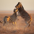 Fighting Zebras — Stock Photo #14708369