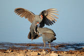 Fighting helmeted guineafowl — Stockfoto