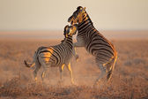 Fighting Zebras — Stockfoto