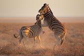 Bestrijding van zebra 's — Stockfoto