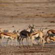 Stock Video: Springbok antelopes at waterhole