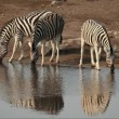 Plains Zebras drinking — Stock Video #14899331