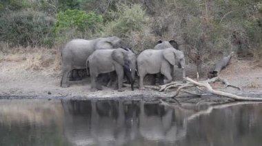 African elephants — Stock Video