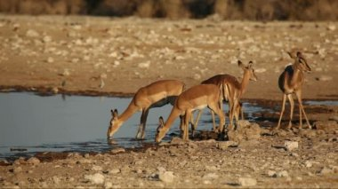 Impala antelopes at waterhole — Stock Video #14899245