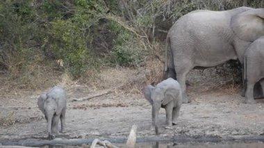 Baby afrikaanse olifanten — Stockvideo