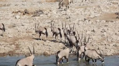 Gemsbok antelopes at waterhole — Stock Video