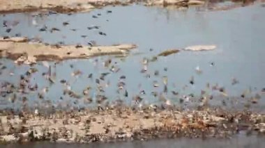 Red-billed Queleas — Stock Video