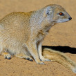 Yellow mongoose — Stock Photo #15711027