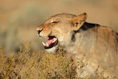 Aggressive lioness — Stock Photo