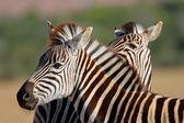 равнины зебра портрет — Стоковое фото