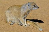 Yellow mongoose — Stock Photo