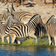 Plains Zebras in water — Stock Photo #16181517