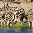 Plains Zebras in water - Stock Photo