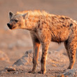 Spotted hyena — Stock Photo #16181521