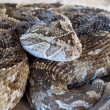 Puff adder - Stock Photo