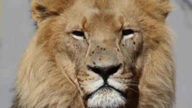 Africký lev portrét — Stock video