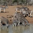 Plains Zebras drinking - 图库照片