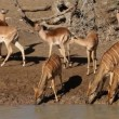 Antelopes drinking water - Stock Photo