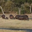 Stock Video: Hippopotamus