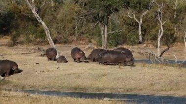 Hippopotamus — Stock Video