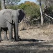 African elephant — Stock Video