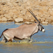 Gemsbok in water — Stock Photo
