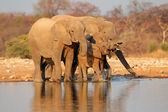 Elephants drinking water — Stockfoto