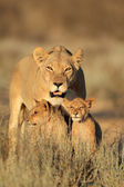 Lioness with cubs — Stock Photo
