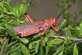 Pyrgomorphid grasshopper — Stock Photo
