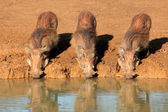 Warthogs drinking — Stock Photo