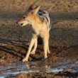 Black-backed Jackal — Stock Video